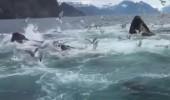 Kambur balina sürüsüyle karşılaşan adamın ilginç tepkisi
