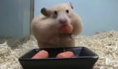 Tam 5 havucu ağzına tıktı. Hamster'ın zor anları!