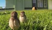 Baykuşların robot dansına bayılacaksınız