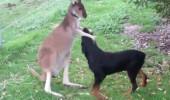 Kanguru ve köpekten dost olur mu demeyin!