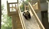 Minik pandaların kayak keyfi!