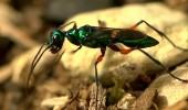 Karıncalar hakkında bilinmeyenler! Dünyada kaç tür karınca vardır?