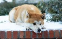 Dünyanın en sadık köpek dostu: Hachikō