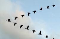 Kuşlar neden 'V' şeklinde uçar?