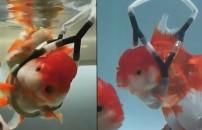 Balığı akvaryumda denge kuramıyordu! Bakın ne yaptı...