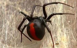 Zehirli örümcek, cinsel organından ısırdı