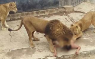 Aslan kafesine atlayan gencin üstünden çıkan not şoke etti!