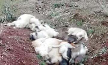 Çok sayıda ölü köpek bulundu!
