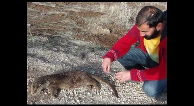 Nesli tükenen hayvan Tunceli'de ölü bulundu!