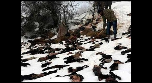 Şırnak'ta 1500 Kuzu ve Koyun Telef Oldu