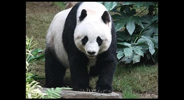 Sevgililer Günü hediyeniz 'panda' olabilir!
