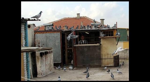 İki Daire Fiyatında Posta Güvercinleri Var