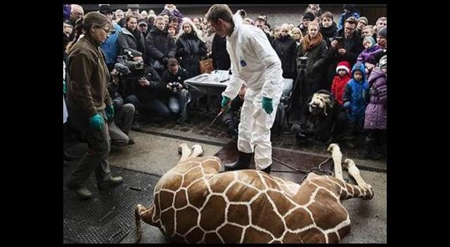 Zürafa Marius'ı çocukların gözü önünde kestiler!