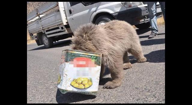 Tenekeye sıkışan yavru ayı böyle kurtarıldı!