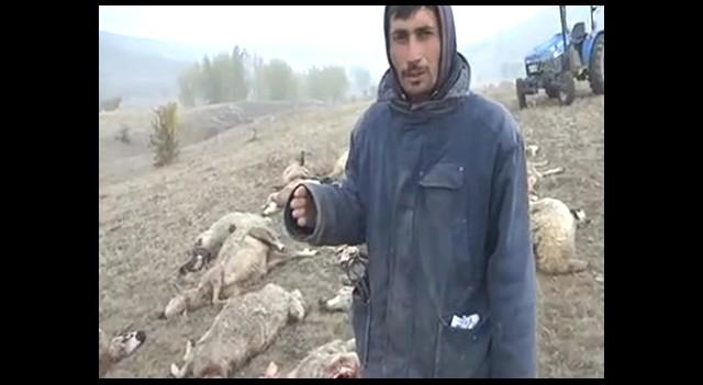 Çankırı'da Kurtlar 25 Koyunu Telef Etti!