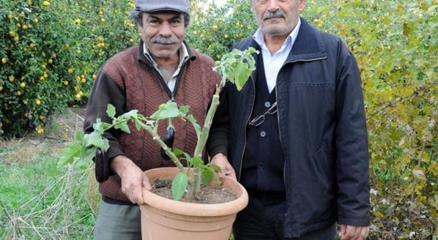 Ağaçta yetiştirdikleri patlıcan zehirli çıktı