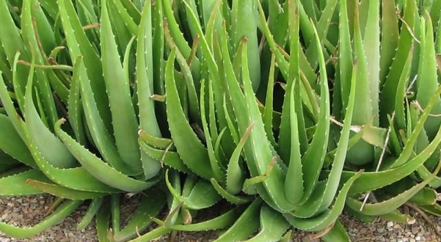 Aloe Vera'nın 10 mucizevi faydası