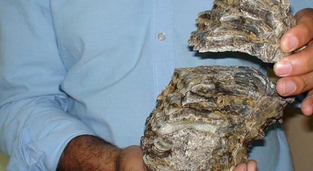 Konya'da 2.5 milyon yıllık mamut fosili bulundu