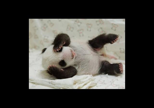 Minik Panda Yavrusu İlgi Odağı Oldu