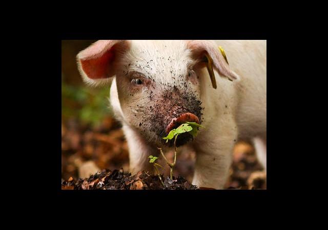Ormanda bulduğu yavru domuzları sütle besliyor