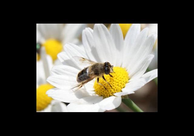 Arılar Sensörlerle Yol Buluyor