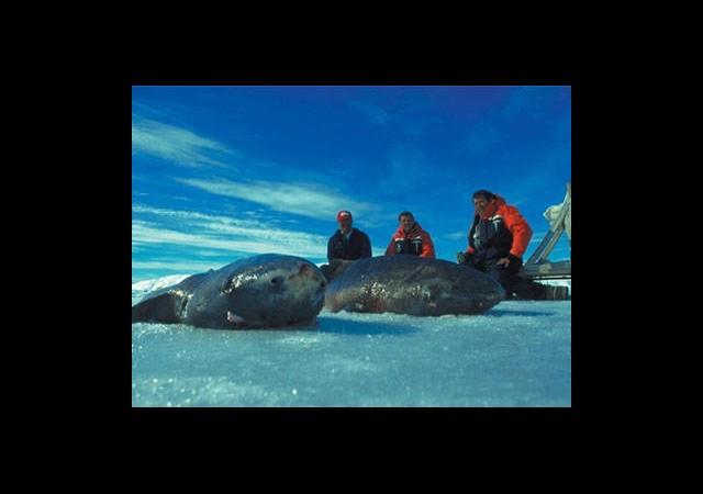 Denizlerin en ölümcül yaratıklarından Grönland  köpekbalığı