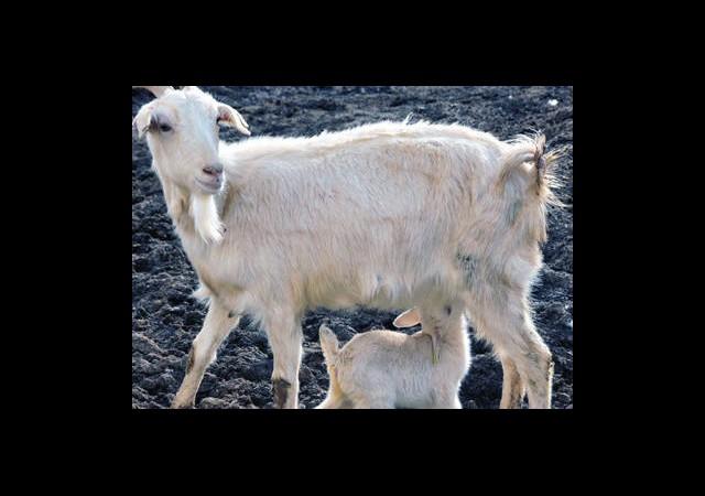 Anne Sütüne En Yakın Süt Bu Keçide
