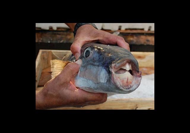 Bu Balık Siyanürden 50 Kat Zehirli