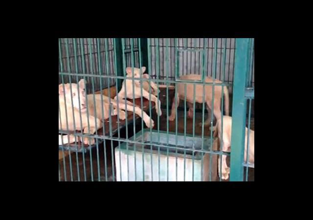 Ev Baskınında 14 Aslan Ele Geçirildi
