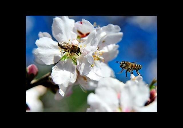 Arılar erken işbaşı yaptı