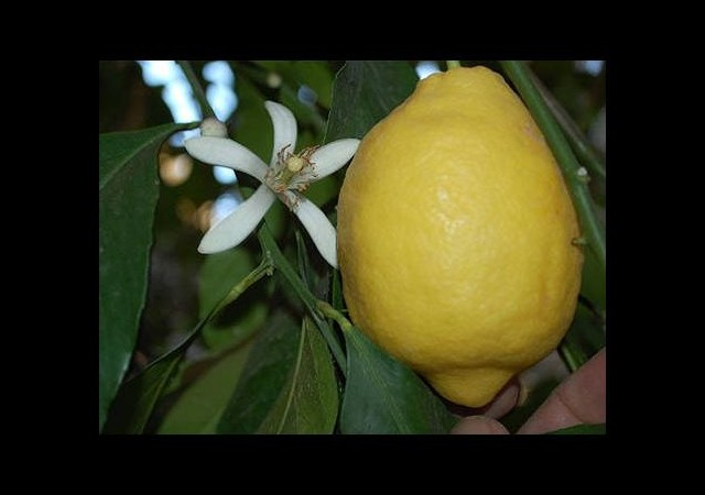 Limon fiyatlarında düşüş yok