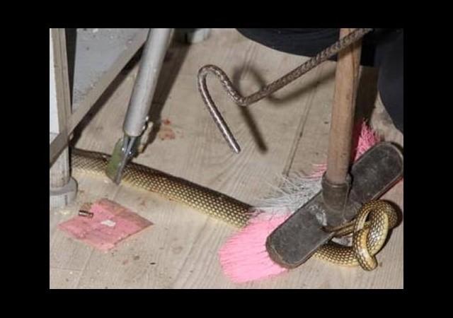 Baharatçı dükkanındaki yılan 4 saatte yakalandı!