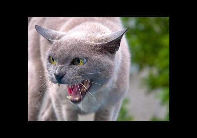 Kediler 5 Bin Yıl Önce Evcilleştirildi!