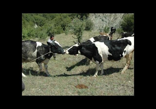 Bu da inek kurtarma operasyonu!