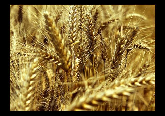 Soğuğa Dayanıklı Yerli Buğday Ve Arpa