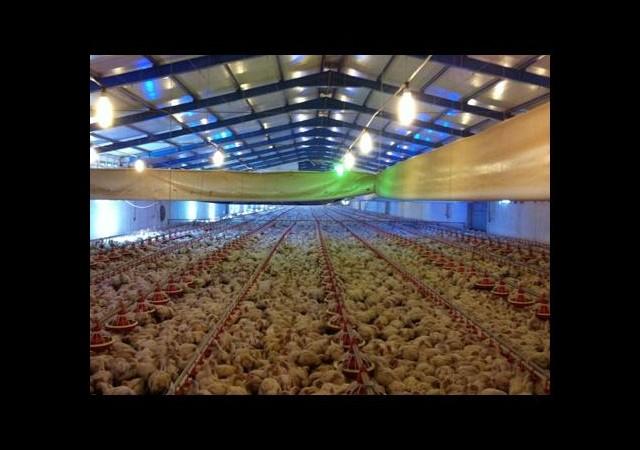 Tavuk eti sevenlere iyi haber