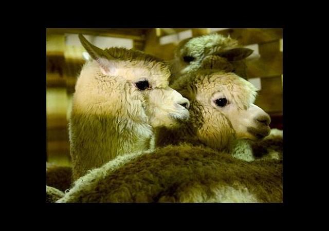 Alpaka develeri Türkiye'ye getirildi