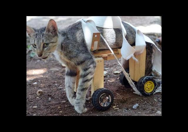 Felçli kediyi böyle yürüttüler