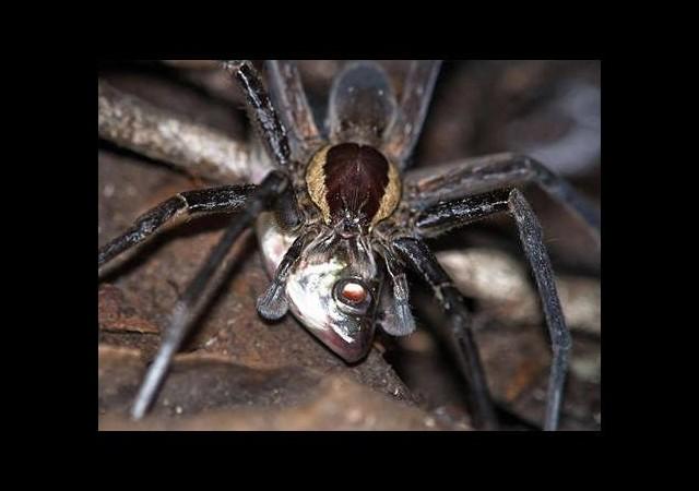 Bu örümceğin ne yediğine inanamayacaksınız!