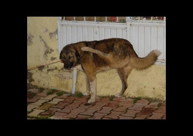 Ters bacaklı köpek ameliyat ettirilecek