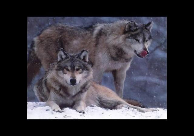 Yaşlı çifte kurtlar saldırdı!