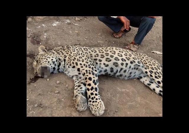 Leopar öldüren kuzenler hakkında karar verildi