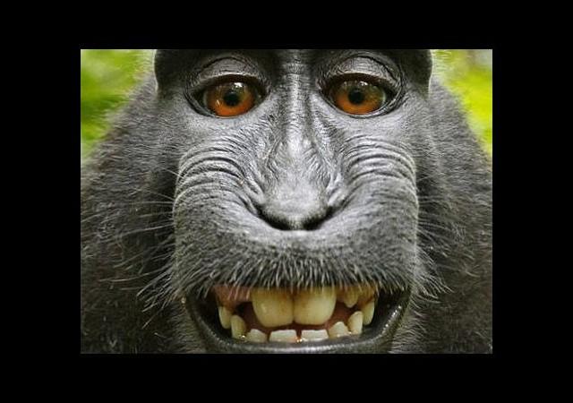 Maymun Selfie'si ortalığı karıştırdı!