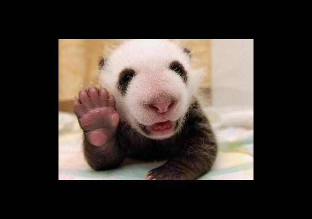 """Bu Tatlılığa B-ayı-lacaksınız! Bebek Pandadan """"Çak bir beşlik""""!"""