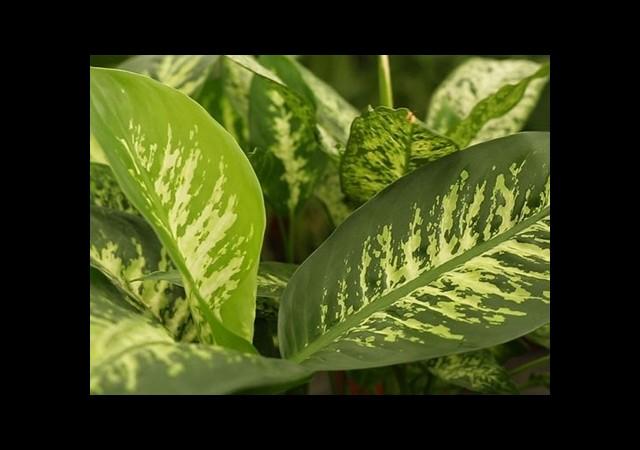 Süs Bitkilerindeki Büyük Tehlike