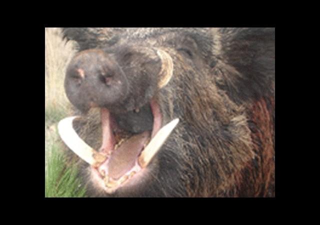 Yaraladığı domuz ertesi gün öldürdü