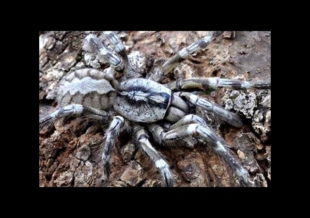 ABD 'Tarantula Aşk Festivaline' Hazırlanıyor
