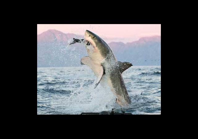 İngiltere'de Jaws Alarmı!
