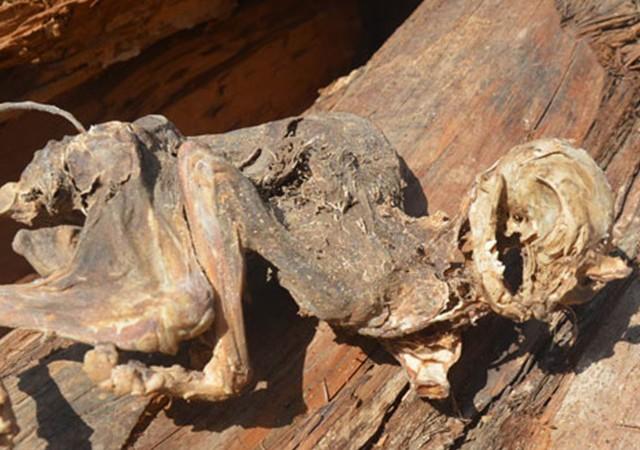 500 yıllık ağacın içinden çıkan hayvan iskeleti şaşırttı