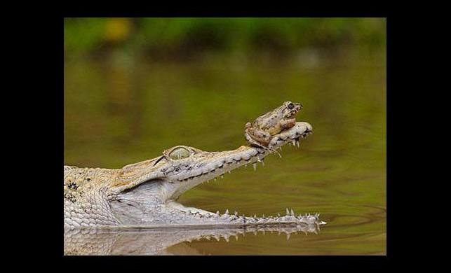 Kurbağanın inanılmaz cesareti